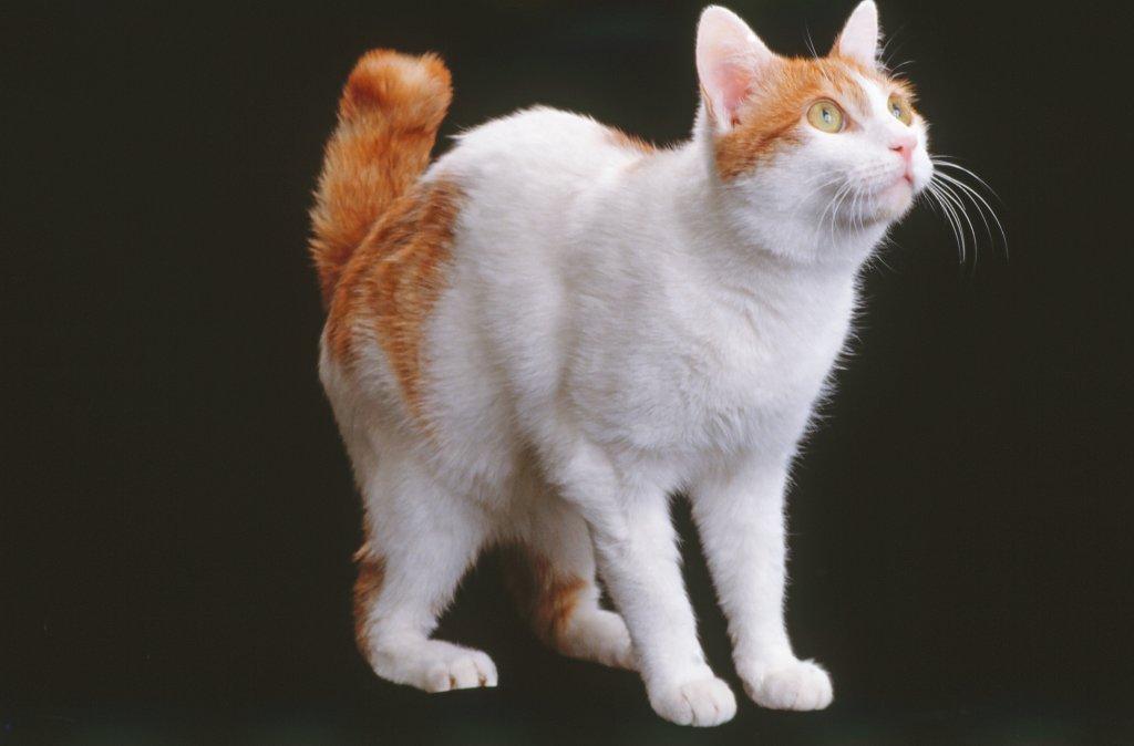 Japanische KatzenraГџe